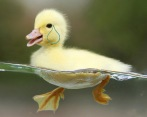 little-yellow-duck-swimming-water_120406a