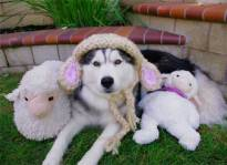 a-husky-in-sheeps-clothing